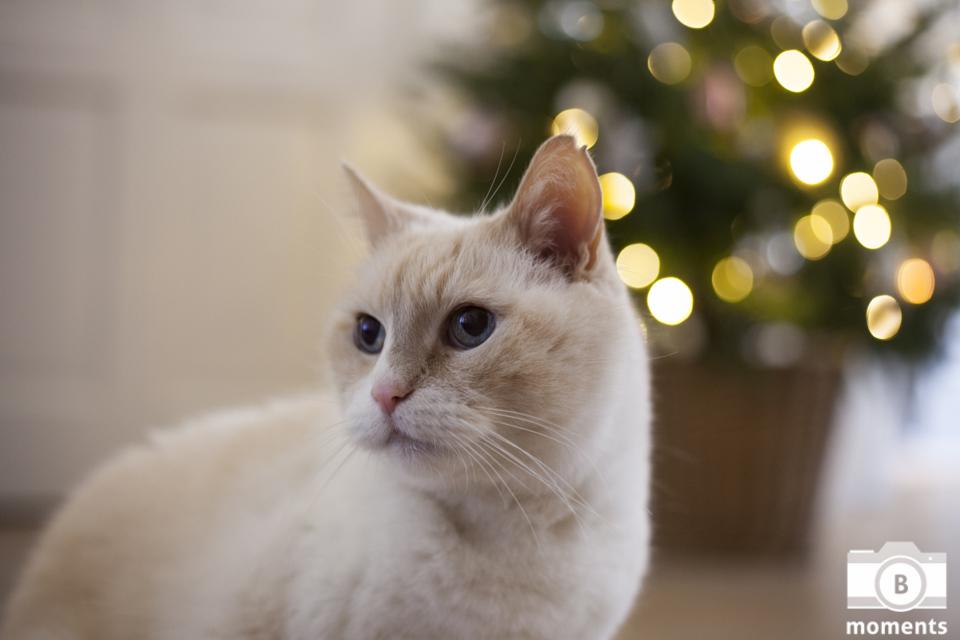 kattenfotografie, fotografie kat, huisdier, poes, kat, amsterdam, bmoments, gezinsfotografie